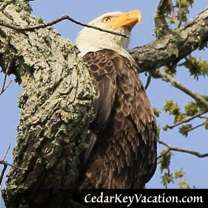 Cedar Key Birdwatching